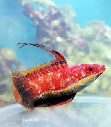 Geselliger Zwerglippfisch