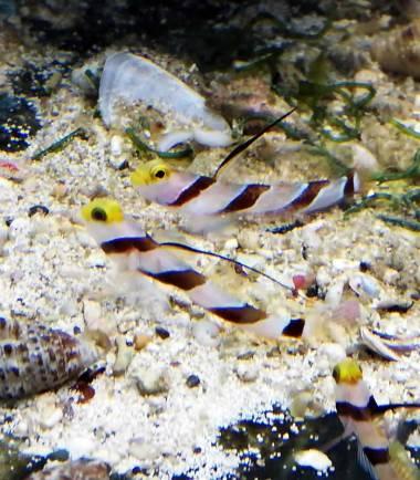Stonogobiops nematodes