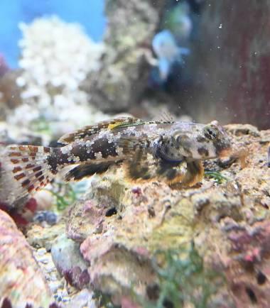 Augenfleck Madarinfisch online kaufen