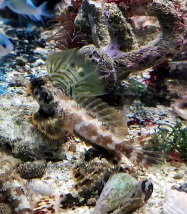 Augenfleck Madarinfisch online