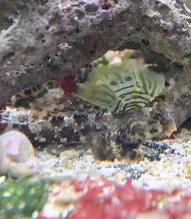 Augenfleck Madarinfisch
