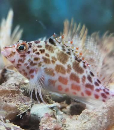 Cirrhitichthys falco - Falks Korallenwächter