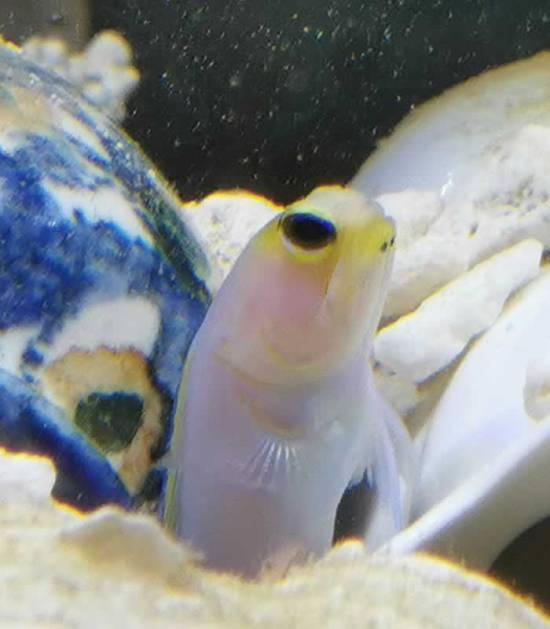 Goldstirn Kieferfisch online kaufen
