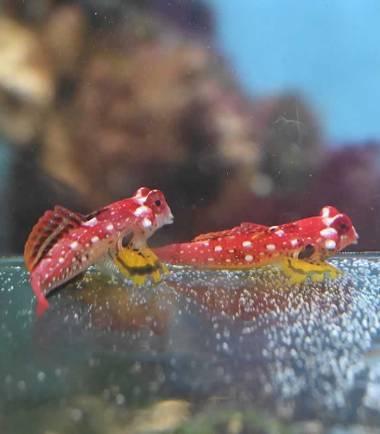 Roter Leierfisch Pärchen