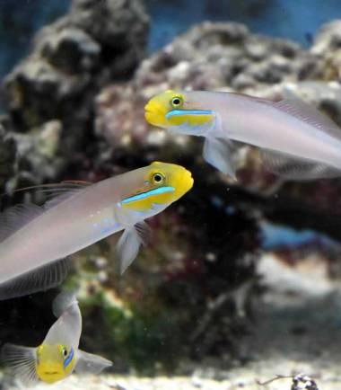 Valenciennea strigata - Goldstirn Schläfergrundel Paar Nemo