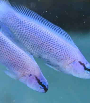 Pseudochromis Indigo-fridmani x sankeyi Hybride