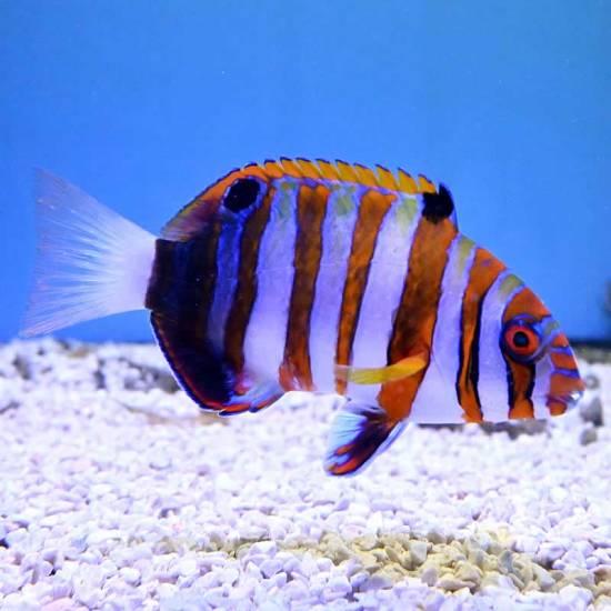 Choerodon fasciatus - Harlekin Lippfisch