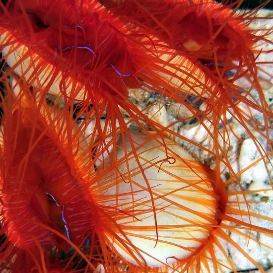 Lima scabra - Ctenoides scaber - ales Flammenmuschel
