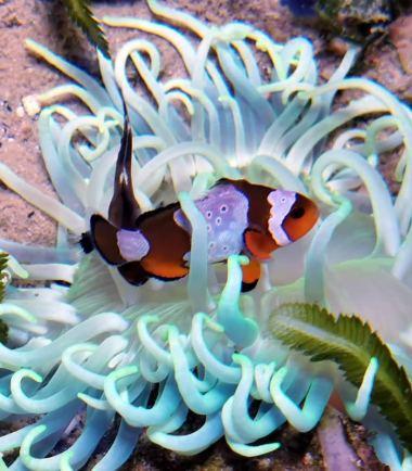 Macrodactyla doreensis - blaue Korkenzieher Anemone