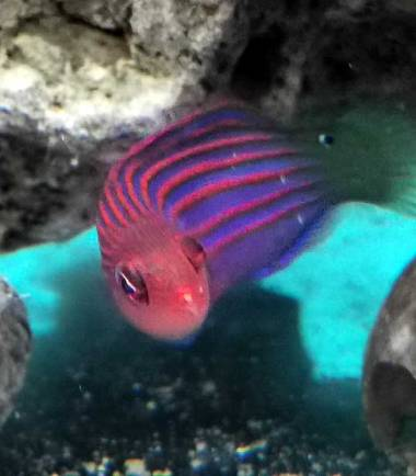 Sechsstreifen Lippfisch