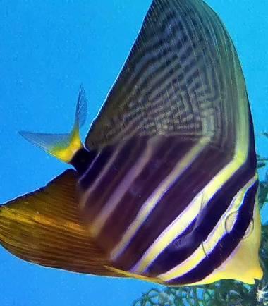 Segelflossen Doktorfisch