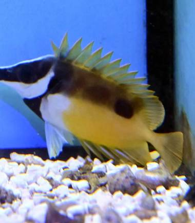 Siganus unimaculatus - Nemo Aquaristik