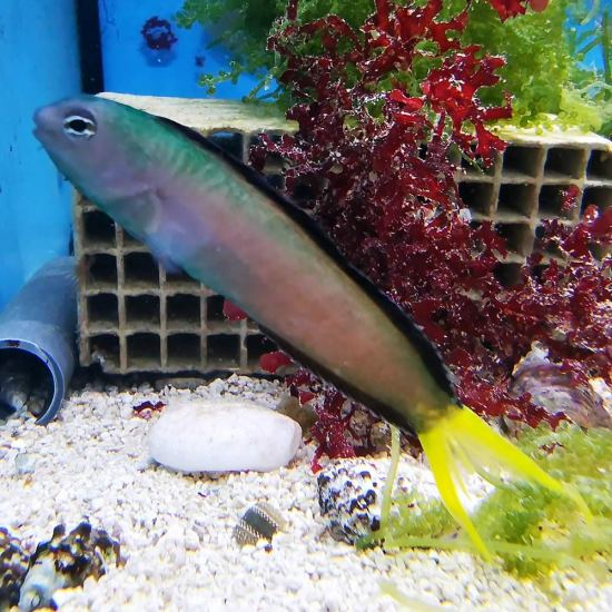 Meiacanthus mossambicus - Afrikanischer Leierschwanz Schleimfisch