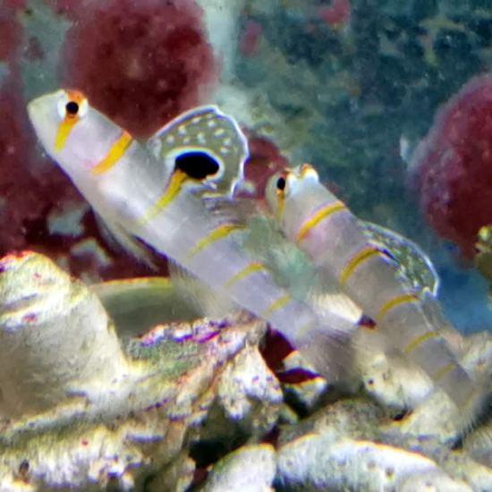 Amblyeleotris randalli - Randalls Partner Grundel