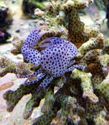 Rot gepunktete Korallenkrabbe