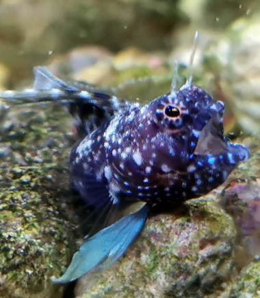 Emblemaria pandionis - Segelflossen Blenny