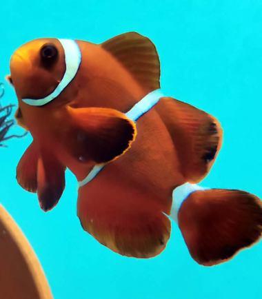 Premnas biaculeatus - Samt Anemonenfisch