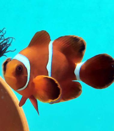 Samt-Anemonenfisch