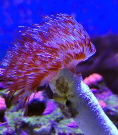 Protula bispiralis - Pracht Kalkröhrenwurm