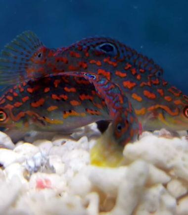 Timor Lippfisch