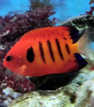 Centropyge loricula - Flammen Zwergkaiserfisch, Flammenkaiser