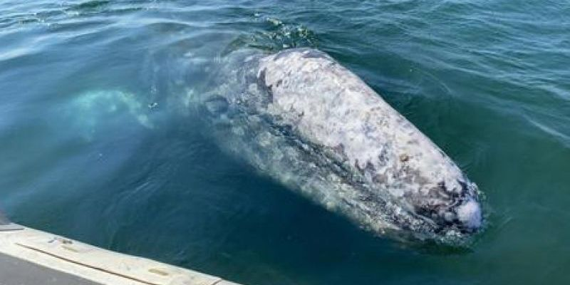 WALLY THE GREY WHALE CONTINUES RARE TOUR OF ITALY