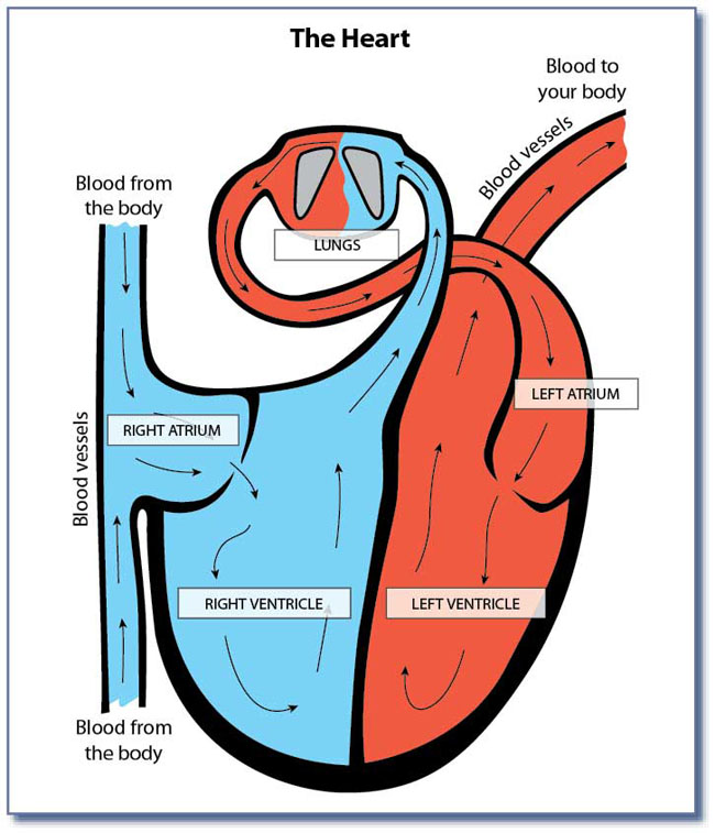 Here is a diagram of the heart. Give student the heart diagram.