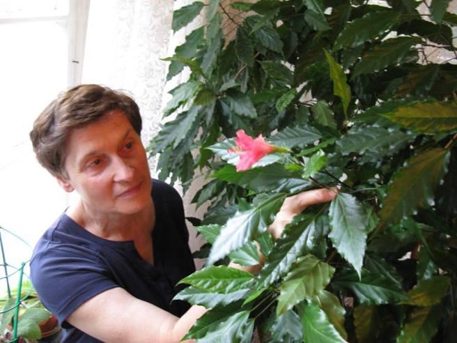 У нас есть дома сирийский гибискус, огромный, растёт хорошо, а цвести — не хочет,что мы только с ним ни делали. И вдруг видим: на нём цветок!