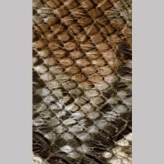 OAKI-DOKI - Galloon Trim Snake | 30mm | brown *kleur 12049