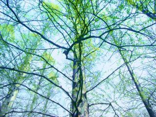 仰ぎ見る樹木 差分:晴れ/夕方/霧