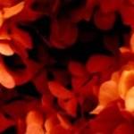 赤い紫陽花(アジサイ)