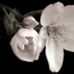 ほころぶ蕾と咲く桜