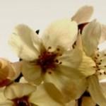 グラデーションの背景と桜