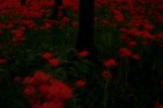 群生する赤い彼岸花