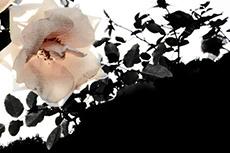 淡い薔薇の花(2パターン)
