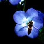 ネモフィラと蜂