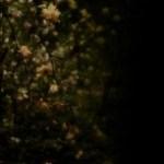 ヤマブキ(八重)の写真素材