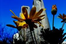 都庁前に咲く黄色い花