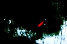 赤い金魚が泳ぐ池