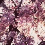 【高解像度】降り注ぐような枝垂れ桜(3パターン)