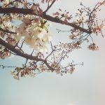 【高解像度】穏やかな雰囲気の桜の木(3パターン)