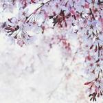 【高解像度】清々しい桜(3パターン)