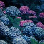 【高解像度】静かに咲く満開の紫陽花(アジサイ)(3パターン)