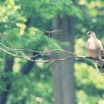 【高解像度】森の中の鳩(ハト)(3パターン)