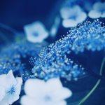 【高解像度】青く澄んだ額紫陽花(ガクアジサイ)(3パターン)