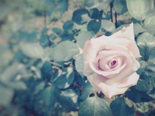 【高解像度】淡いピンクの薔薇