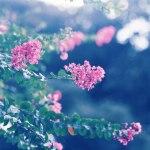 【高解像度】雨の中の百日紅(サルスベリ)(2パターン)