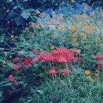 【高解像度】咲き乱れる彼岸花とコスモス(3パターン)