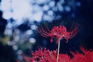 【高解像度】木漏れ日と彼岸花(3パターン)