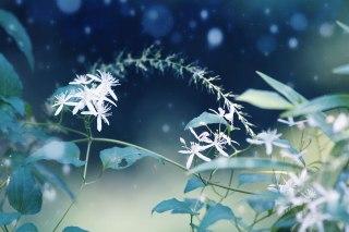 【高解像度】幻想的な雰囲気の仙人草(センニンソウ)(3パターン)